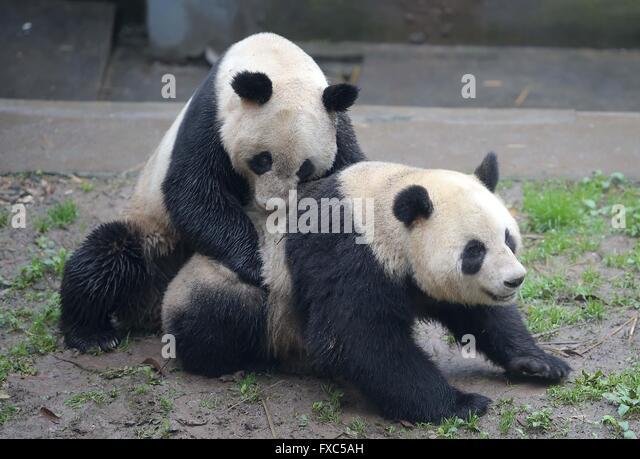 "Ya'an, China's Sichuan Province. 14th Apr, 2016. Giant panda ""Yang Yang"" (L) mates with giant - Stock Image"