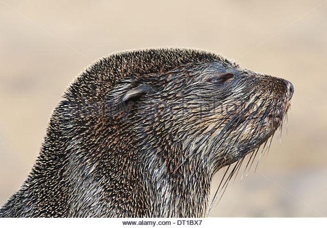 Cape Cross National West Coast Recreation Area South Africa The head of cape fur seal Arctocephalus pusillus - Stock-Bilder