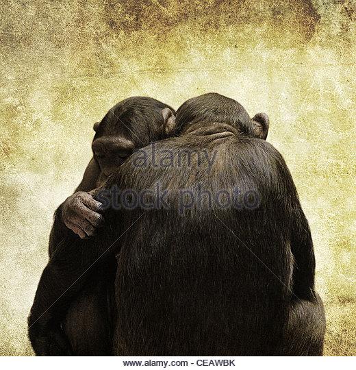 chimps hugging - Stock-Bilder