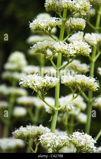 White Valerian, bee friendly, flowers. UK ( Valerian ruber Albus ) - Stock Image
