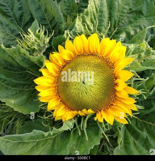 Sunflower, California - Stock Image