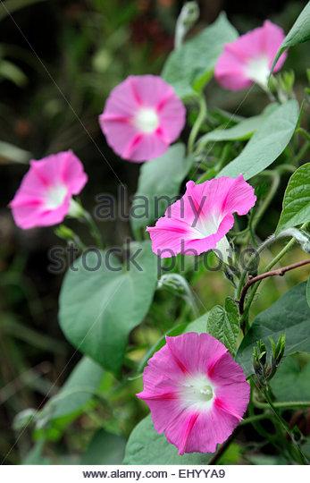 Pink trumpet vine stock photos pink trumpet vine stock for Ipomea purpurea