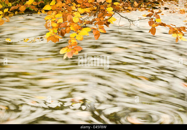 Foam and dead leaves in motion on the water surface of a pool with Beech (Fagus sp) leaves hanging down from above, - Stock Image