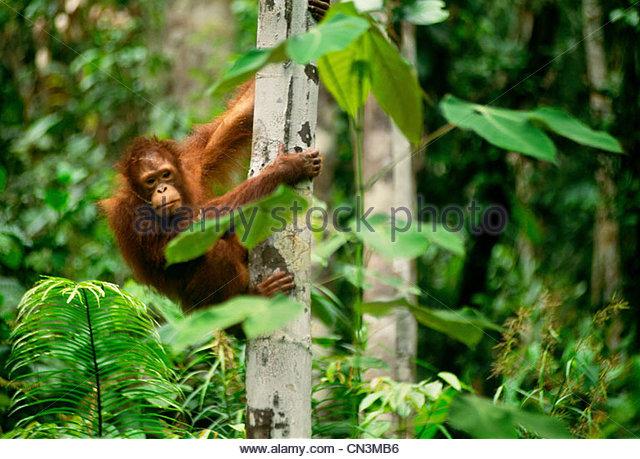 Orangutan juvenile, Sarawak, Borneo, Malaysia - Stock Image