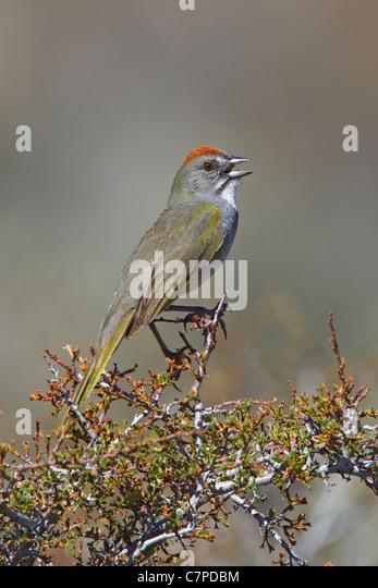 Green-tailed Towhee Pipilo chlorurus Bodie, California, United States 13 May Adult Emberizidae - Stock Image