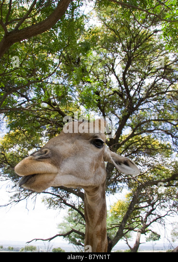 Giraffe Game Park South Africa - Stock Image