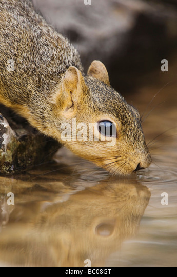 Eastern Fox Squirrel Sciurus niger adult drinking from spring fed pond Uvalde County Hill Country Texas USA April - Stock-Bilder