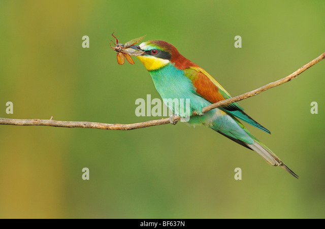 European Bee-eater (Merops apiaster), adult with cockchafer (Melolontha melolontha) prey, Hungary, Europe - Stock Image
