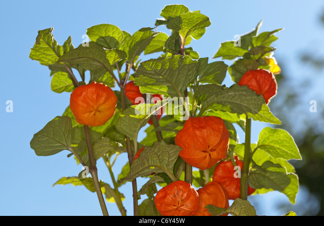 chinese lampion physalis stock photos chinese lampion physalis stock images alamy. Black Bedroom Furniture Sets. Home Design Ideas