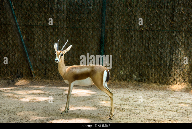Gazelle in a zoo, Barcelona Zoo, Barcelona, Catalonia, Spain - Stock-Bilder