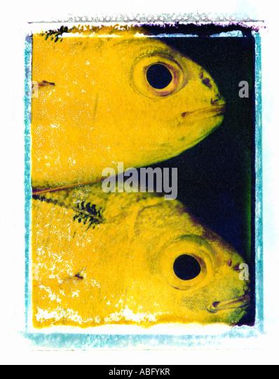 FISHES CLOSE UP ON POLAROID IMAGE TRANSFER - Stock Image