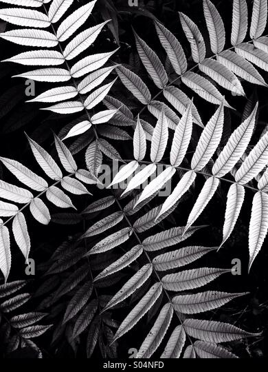 Leaves on stems in b/w - Stock Image
