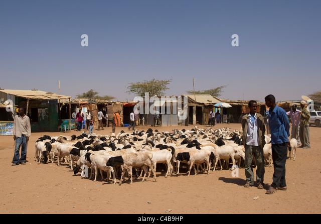 Goats for sale at the livestock market barao somaliland somalia