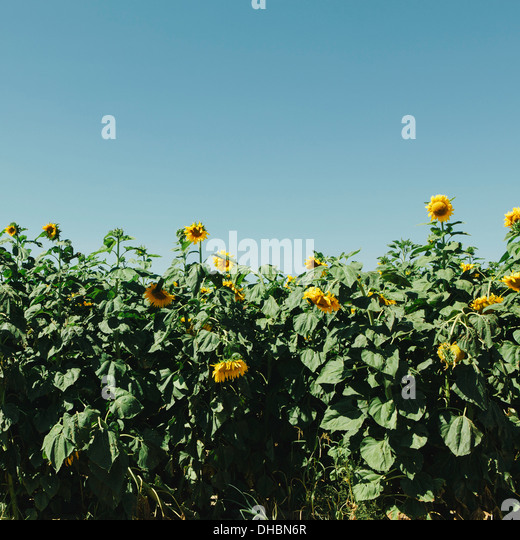 A field of tall sunflowers growing near Quincy in Washington state. - Stock Image