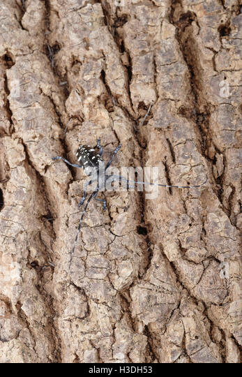 picture of asian longhorned beetle