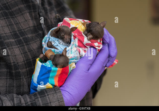 Tolga Bat Hospital volunteer handling Little red flying foxes (Pteropus scapulatus) babies wrapped in nappies cuddling - Stock Image