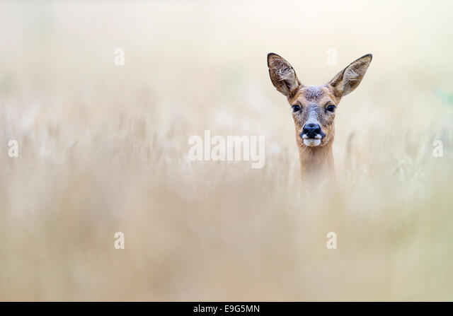 Adult female Roe deer courting in an arable field during the summer rut, Norfolk, England - Stock Image