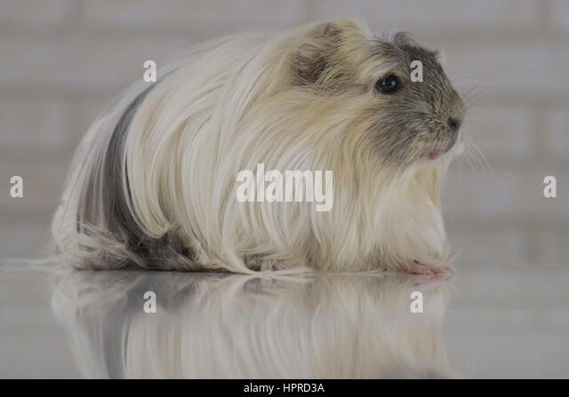Beautiful funny Guinea pig breed Coronet cavy - Stock Image