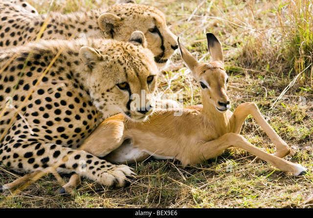 Cheetah with young Impala they've captured - Masai Mara National Reserve, Kenya - Stock Image