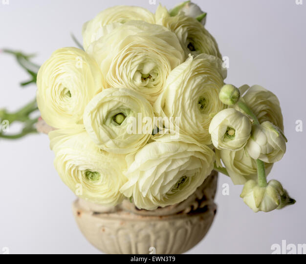Bouquet of yellow ranunculus - Stock Image
