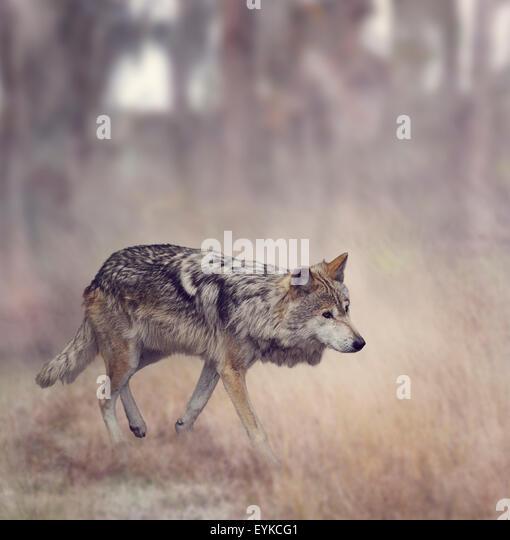 Wolf Walking In The Woods - Stock-Bilder