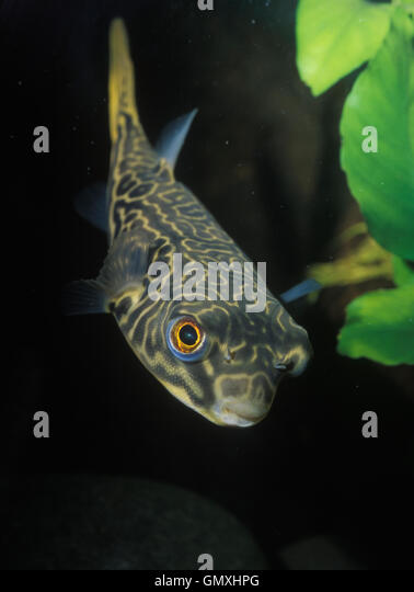 Mbu puffer, Tetraodon mbu. Juvenile animal. Aquarium. Portugal. - Stock-Bilder