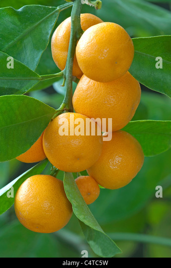 calamansi fruit stock photos calamansi fruit stock images alamy. Black Bedroom Furniture Sets. Home Design Ideas