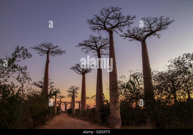 Sunset in the famous Avenida de Baobab near Morondava in Madagascar - Stock Image