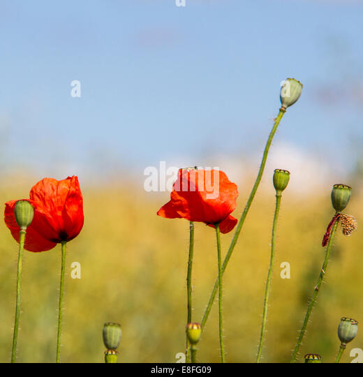 Poppies in a field, England, UK - Stock Image