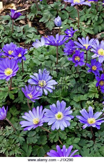 ANEMONE BLANDA 'BLUE SHADES' (WINTER WINDFLOWER) - Stock Image