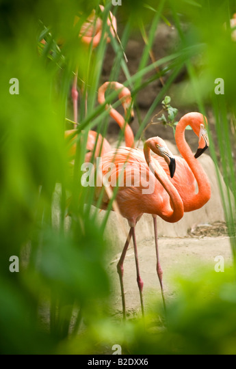 Caribbean Dominican Republic Manati Park Punta Cana Pink flamingos with green foliage - Stock Image