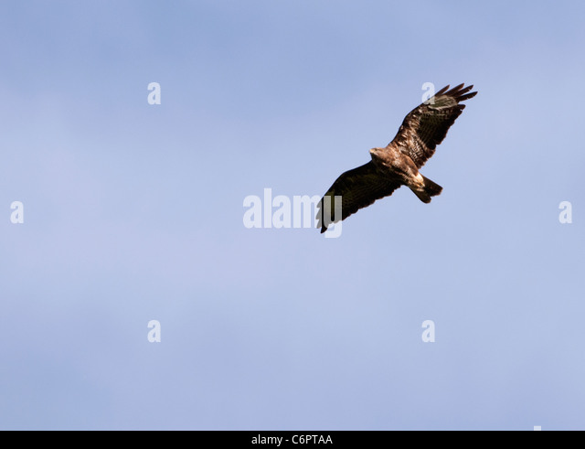 Adult Common Buzzard (Buteo buteo) soaring high on thermals in search of prey - Stock Image