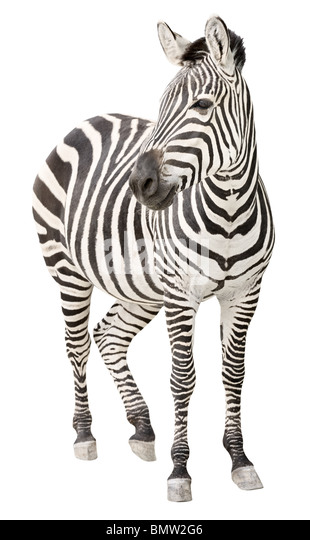 Zebra pregnant two days before foal birth front view looking - Stock Image