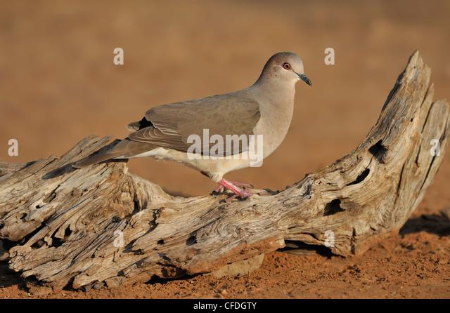 White-tipped Dove (Leptotila verreauxi) - Santa Clara Ranch Texas, United States of America - Stock Image