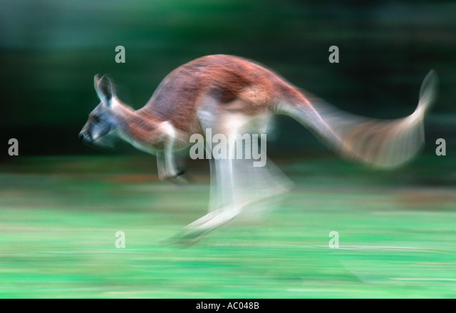 Red Kangaroo Macropus rufus Showing characteristic hopping gait Australia - Stock Image