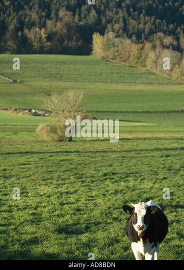 Cow in green pasture - Stock Image