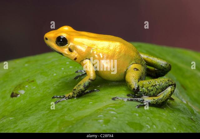 Black-legged Dart Frog (Phyllobates bicolor) on a leaf. - Stock Image