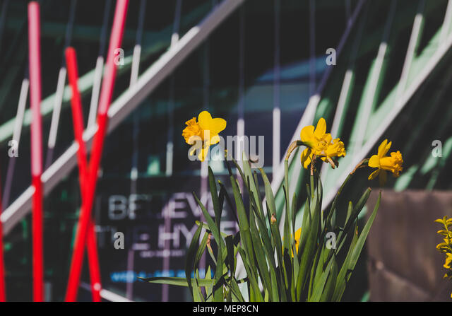 DUBLIN, IRELAND - April 21st, 2018: daffodils in front of the Bord Gais Theatre shot at shallow depth of field - Stock Image