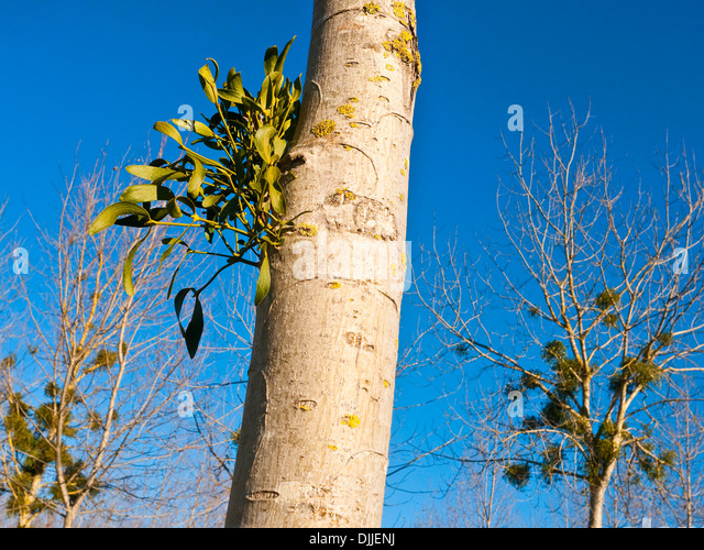 New Mistletoe growth on Poplar tree trunk - France. - Stock Image