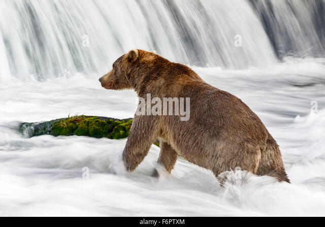 A subadult brown bear in his fishing spot beneath Brooks Falls: salmon fishing requires patience, persistence and - Stock Image