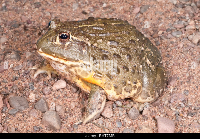 African bullfrog, Pyxicephalus adspersus, aggressive amphibian native to southern Africa - Stock Image