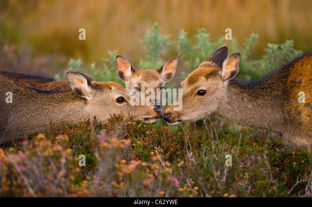 SIKA DEER Cervus nippon  An adult and sub-adult touch noses, a young calf looks on Dorset, UK - Stock-Bilder