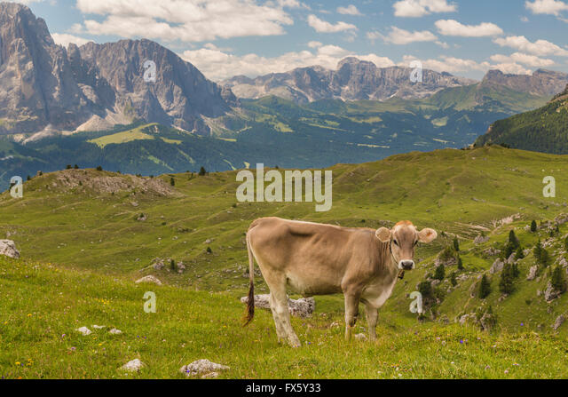 Cow walking on a meadow in the Dolomites and looking in to the camera and mountains is seen in the background, taken - Stock Image