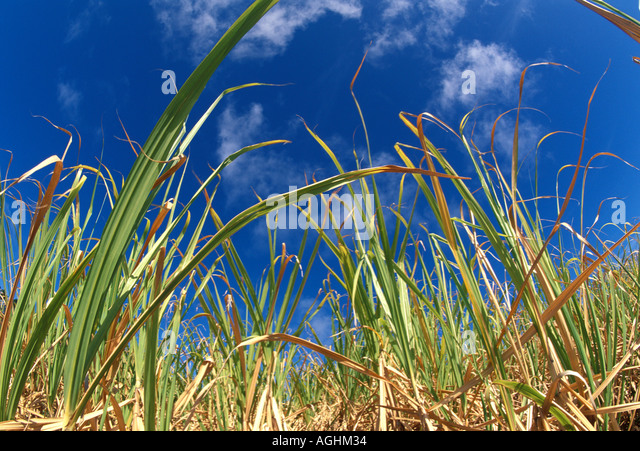Sugar cane Saccharum officinarum leaves of cane against dramatic blue sky caribbean barbados - Stock Image