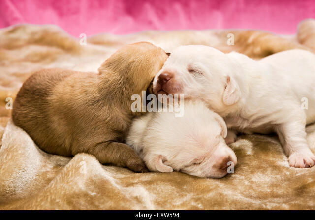 Three one week old puppies asleep on top of each other - Stock Image
