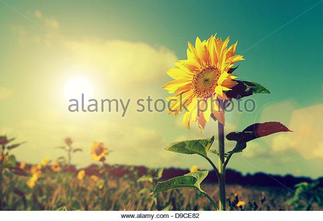 sun and sunflower - Stock Image