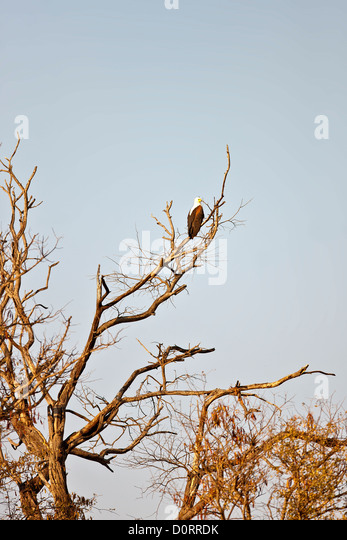 African Fish Eagle sitting on tree in Ngepi Namibia - Stock Image