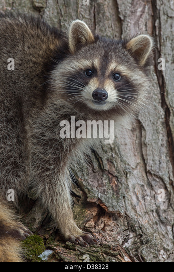 Raccoon ( Procyon lotor), New York, in tree - Stock Image