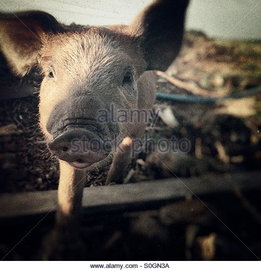 Friendly piglet - Stock Image