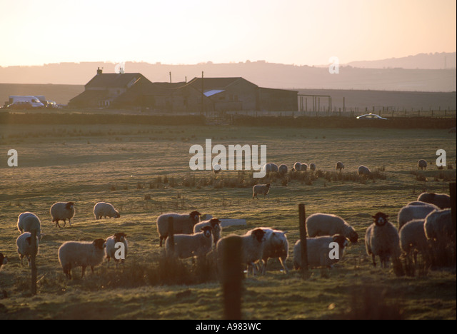 Sheep and farm house on the Cheeden Pasture Turf Moor boundary North Pennine Moors near Heywood Lancashire UK - Stock Image